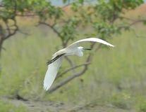 Egret do voo Imagens de Stock