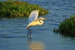 Egret durante il volo 03 fotografia stock