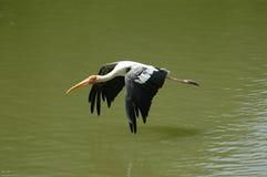 Egret durante il volo fotografia stock