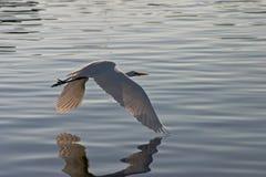 Egret durante il volo #4 immagine stock