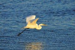 Egret durante il volo immagini stock