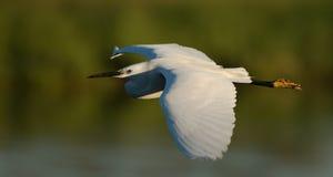 Egret durante il volo fotografia stock libera da diritti