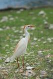 egret dziki Obrazy Royalty Free