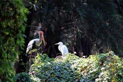 Egret e cegonha Foto de Stock Royalty Free