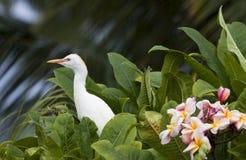 Egret e Plumeria fotografia de stock