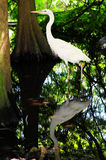 Egret e reflexão Imagem de Stock Royalty Free