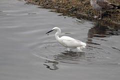 Egret eating Stock Image