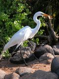 Egret eating breakfast. Great White Egret eating a lizard for breakfast at the Galapagos islands royalty free stock image