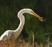 Egret Eating, California  Royalty Free Stock Photography