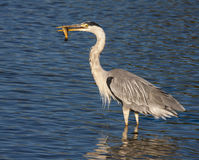 Egret eating a fish Royalty Free Stock Photo