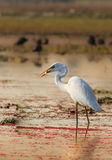 Egret eating fish royalty free stock images