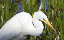 Egret Eating Insect Royalty Free Stock Photography