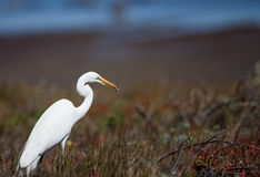 Egret Eating A Snake Royalty Free Stock Image