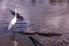 Egret ed alligatore Fotografie Stock