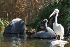 Egret ed anatre del pellicano Immagine Stock