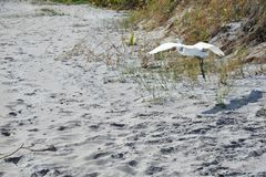 Egret effortlessly flies along the Boca Raton Beach Duneline. The Boca Raton, Florida Beach is miles of sandy shoreline and easy access to beach-goers Stock Images
