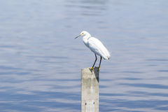 egret egretta śnieżny thula Zdjęcia Royalty Free