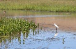egret egretta śnieżny thula Obraz Royalty Free
