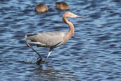egret egretta czerwonawi rufescens Obrazy Stock