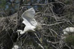 Egret (Egretta garzetta) Royalty Free Stock Photo