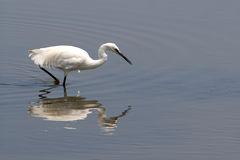 Egret, (egretta garzetta) Royalty Free Stock Photos