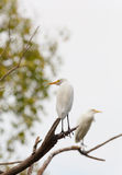 Egret (Egretta garzetta) bird Royalty Free Stock Photography