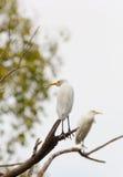 Egret (Egretta garzetta) bird Royalty Free Stock Photography