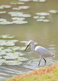 Egret (Egretta garzetta) bird walking Stock Photography