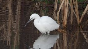 egret egretta garzetta trochę zdjęcie wideo