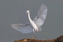egret egretta garzetta trochę zdjęcia royalty free
