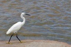 egret egretta garzetta trochę zdjęcie stock