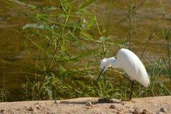 egret egretta garzetta trochę obrazy stock