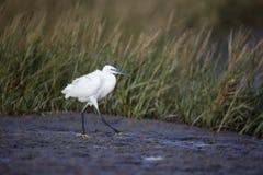 egret egretta garzetta trochę Fotografia Stock