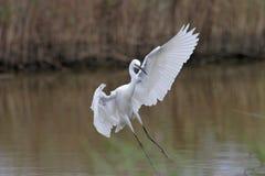 egret egretta garzetta trochę Zdjęcie Royalty Free
