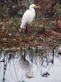 egret egretta intermedia intermediate obraz royalty free