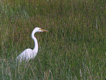 Egret em um campo gramíneo Imagens de Stock