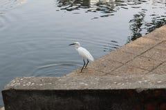 Egret em um parque local imagem de stock