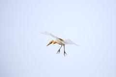 Egret em voo Fotos de Stock Royalty Free