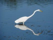 Egret en agua Fotografía de archivo