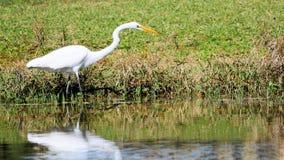 Egret en agua Fotos de archivo