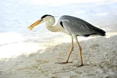 Egret en Maldives Imagen de archivo libre de regalías