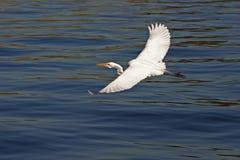 Egret en vuelo #3 Foto de archivo libre de regalías