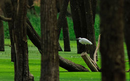 Egret enjoying the greenary and scenary. Greenish water is very rarely found.. Here it adds to the habitat shot of this egret Royalty Free Stock Image