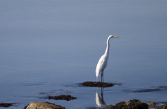Egret ereto Fotos de Stock Royalty Free