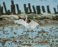 Egret ereto Imagens de Stock Royalty Free