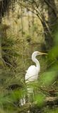 Egret in the Everglades. Great white egret in the swamps of the Florida Everglades Stock Image