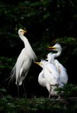 Egret family. This is a happy egret family royalty free stock image