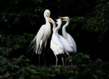 Egret family. This is a happy egret family Royalty Free Stock Photo
