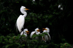 Egret family. This is a egret family royalty free stock image