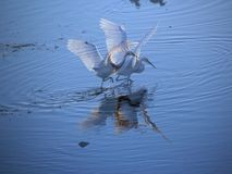 Egret Fantasy. Two white egrets with wings uplifted  have been superimposed over each other to create a fantasy scene in the blue lake Stock Images